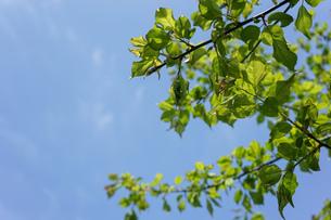 新緑・空の写真素材 [FYI04659540]