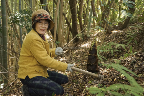 タケノコ刈りをする高齢の女性の写真素材 [FYI04659659]