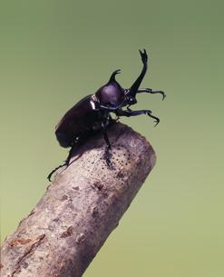 樹木で静止するカブト虫の写真素材 [FYI04659918]