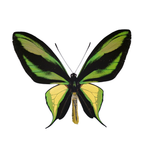 ゴクラクトリバネアゲハの写真素材 [FYI04660337]