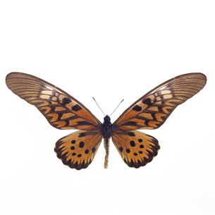アンティマックスオオアゲハの写真素材 [FYI04660342]