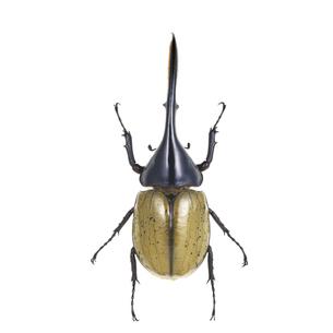 ヘラクレスオオカブトムシの写真素材 [FYI04660358]