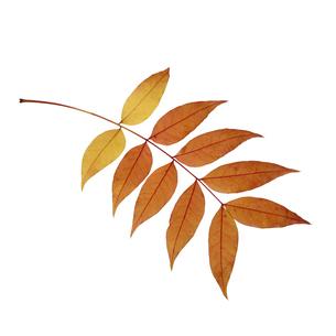 枝についた葉っぱの写真素材 [FYI04660692]