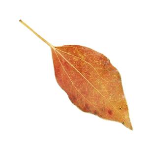 落葉した一枚の葉っぱの写真素材 [FYI04660700]