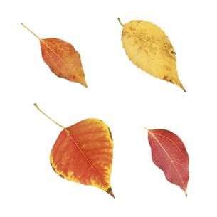 色付いたいろいろな葉っぱの写真素材 [FYI04660703]