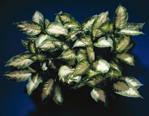 観葉植物の写真素材 [FYI04660733]