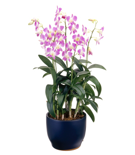 デンファレ Orchid of fellow ピンク (キリヌキ)の写真素材 [FYI04660761]