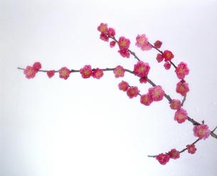梅の枝の写真素材 [FYI04660769]