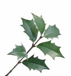 ヒイラギの葉の写真素材 [FYI04660772]