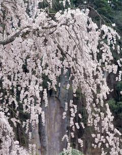 しだれ桜の写真素材 [FYI04660814]