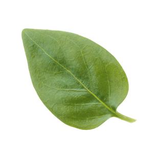 鮮やかな緑色した葉っぱの写真素材 [FYI04660835]