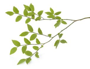 枝についている葉っぱの写真素材 [FYI04660836]