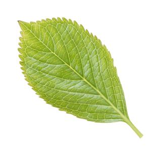 鮮やかな緑色した葉っぱの写真素材 [FYI04660837]