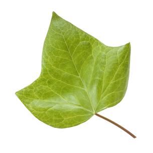 鮮やかな緑色した葉っぱの写真素材 [FYI04660838]