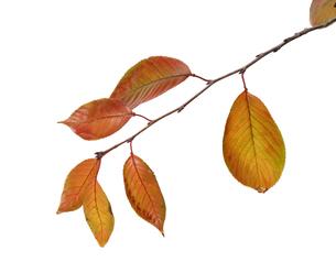 枝についている色づいた葉っぱの写真素材 [FYI04660852]