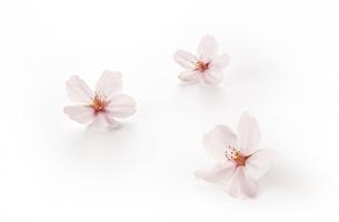 桜の花 ソメイヨシノ(バック飛ばし、影イキ)の写真素材 [FYI04660855]