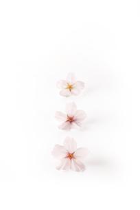 桜の花 ソメイヨシノ(バック飛ばし、影イキ)の写真素材 [FYI04660862]
