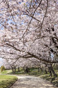 桜、桜並木(宮川堤)の写真素材 [FYI04660865]