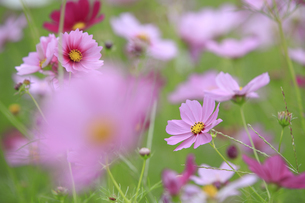 秋桜-コスモス-奈良県-高市郡の写真素材 [FYI04660867]