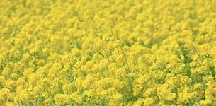一面に咲き誇る綺麗な菜の花畑の写真素材 [FYI04660878]