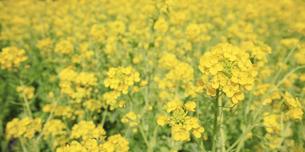 一面に咲き誇る綺麗な菜の花畑の写真素材 [FYI04660883]
