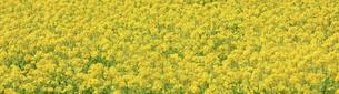 一面に咲き誇る綺麗な菜の花畑の写真素材 [FYI04660884]