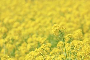 一面に咲き誇る綺麗な菜の花畑の写真素材 [FYI04660885]
