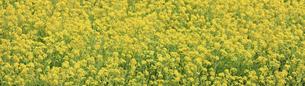 一面に咲き誇る綺麗な菜の花畑の写真素材 [FYI04660887]