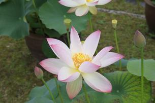 ハスの花-蓮-白の写真素材 [FYI04660894]