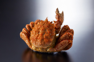 毛ガニ Vサイン (V sign of hair crab)の写真素材 [FYI04664052]