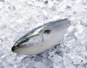 氷漬けのブリの写真素材 [FYI04664075]