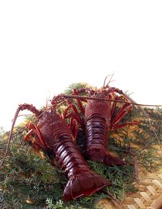 伊勢海老   Ise-Ebi : Japanese spiny lobsterの写真素材 [FYI04664112]