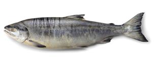 鮭の写真素材 [FYI04664252]