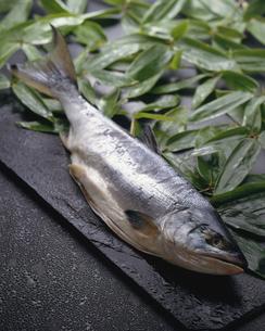 鮭の干物の写真素材 [FYI04664451]