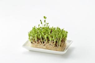 豆苗 pea sprouts(栽培2日目)の写真素材 [FYI04664799]