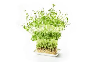豆苗 pea sproutsの写真素材 [FYI04664805]