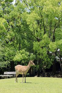 奈良公園-鹿-2019年5月の写真素材 [FYI04665209]