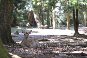 奈良公園-鹿-2019年5月の写真素材 [FYI04665211]