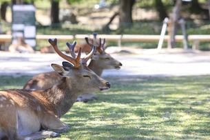 奈良公園-鹿-2019年5月の写真素材 [FYI04665217]