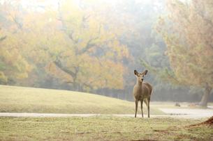 紅葉-鹿-庭園-奈良公園-早朝の写真素材 [FYI04665221]