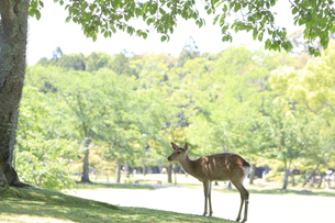 奈良公園-鹿-2019年5月の写真素材 [FYI04665225]