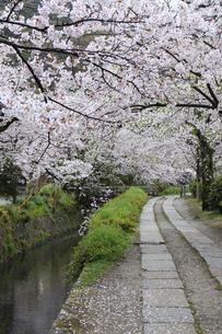 哲学の道-桜-ソメイヨシノ-京都-日本の写真素材 [FYI04665356]