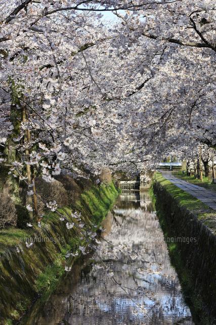 哲学の道-桜-ソメイヨシノ-京都-日本の写真素材 [FYI04665357]
