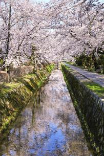 哲学の道-桜-ソメイヨシノ-京都-日本の写真素材 [FYI04665358]