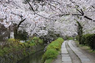 哲学の道-桜-ソメイヨシノ-京都-日本の写真素材 [FYI04665359]