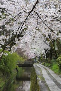 哲学の道-桜-ソメイヨシノ-京都-日本の写真素材 [FYI04665361]