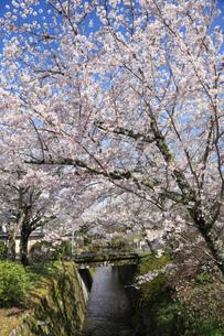 哲学の道-桜-ソメイヨシノ-京都-日本の写真素材 [FYI04665363]