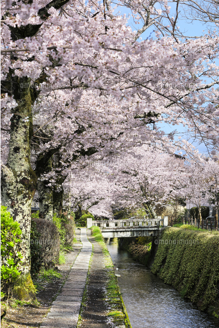 哲学の道-桜-ソメイヨシノ-京都-日本の写真素材 [FYI04665367]