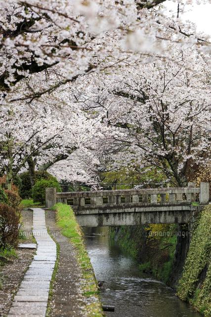 哲学の道-桜-ソメイヨシノ-京都-日本の写真素材 [FYI04665371]