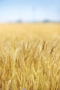麦畑の写真素材 [FYI04665373]